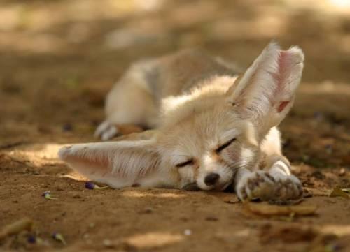 狐の画像ください-063