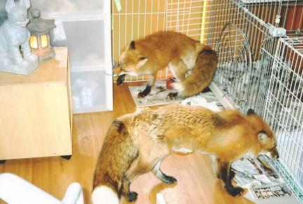 狐の画像ください-092_5