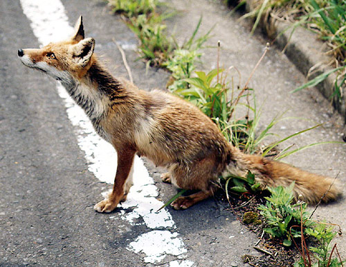狐の画像ください-023