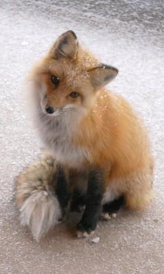 狐の画像ください-113_6