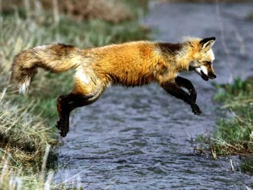 狐の画像ください-104_1