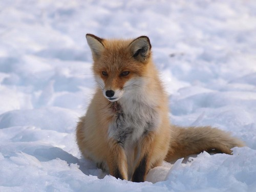 狐の画像ください-070_2