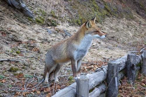 狐の画像ください-104_4