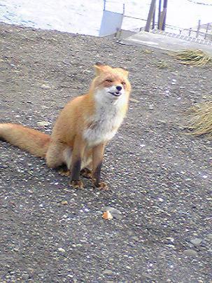 狐の画像ください-131_1