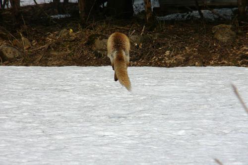 狐の画像ください-083_2
