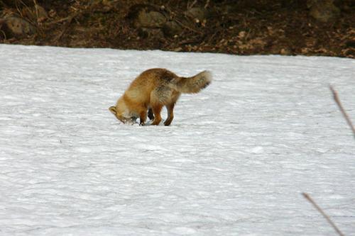 狐の画像ください-083_1