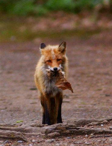 狐の画像ください-055