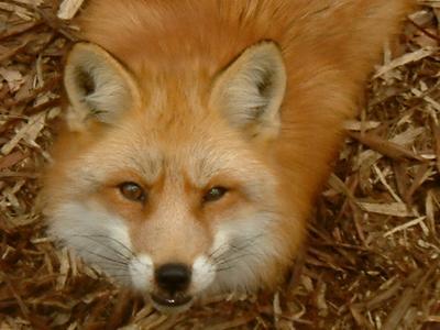 狐の画像ください-131_3