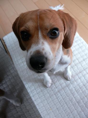 柴犬より可愛い犬種って存在するの-070_4