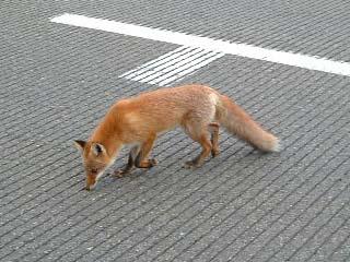 狐の画像ください-116_2