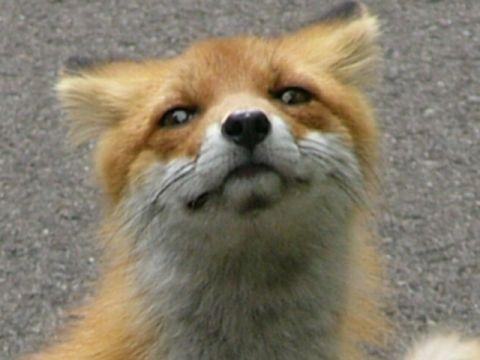 狐の画像ください-093