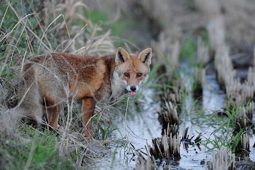 狐の画像ください-073_1