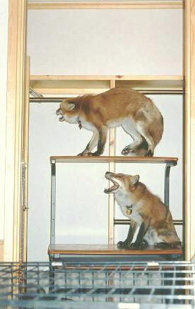 狐の画像ください-092_2