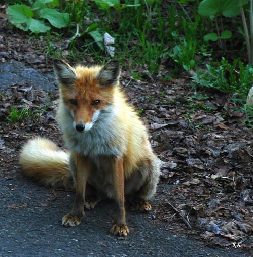 狐の画像ください-069_2