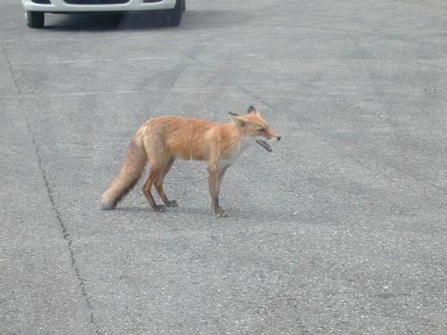 狐の画像ください-116_1