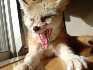 狐の画像ください-062_6