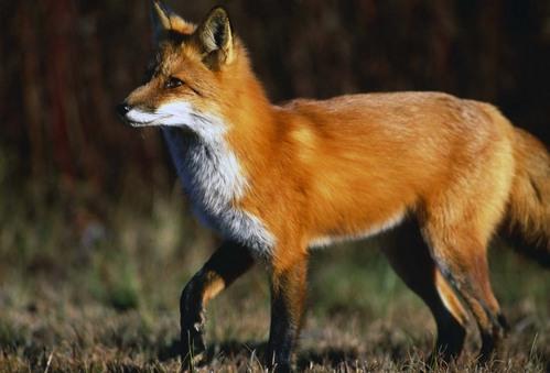 狐の画像ください-070_3