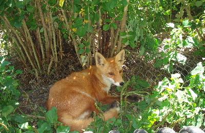 狐の画像ください-057_2