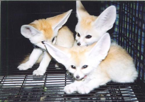 狐の画像ください-068_1