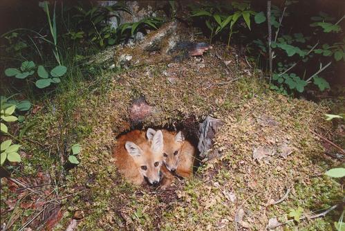 狐の画像ください-070_4
