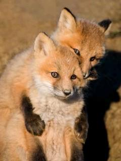 狐の画像ください-113_3