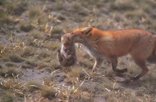 狐の画像ください-048_1