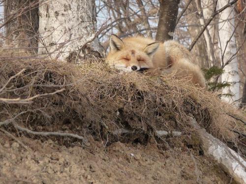 狐の画像ください-076