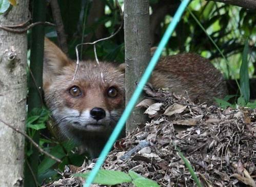 狐の画像ください-074_2