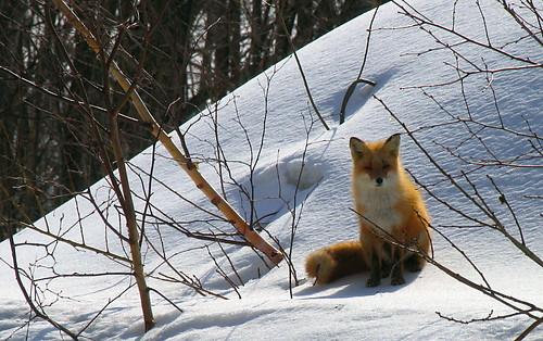 狐の画像ください-074_1