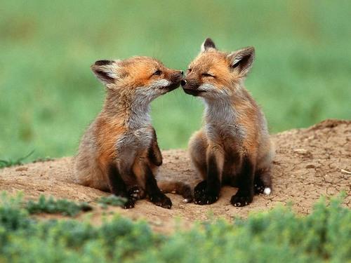 狐の画像ください-008_2
