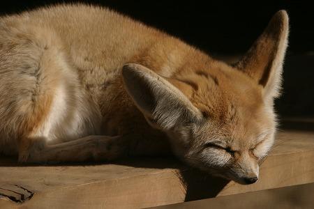 狐の画像ください-064_2