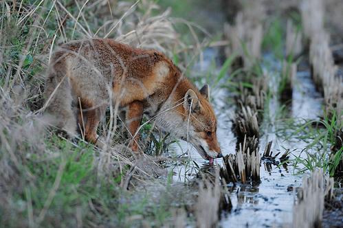 狐の画像ください-073_2