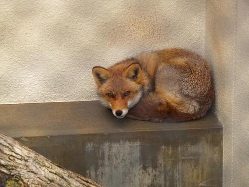 狐の画像ください-099_1