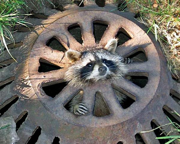 ODD-Baby-Raccoon-Resc