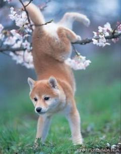 柴犬、秋田犬画像スレ-080