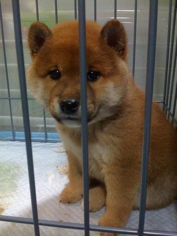 柴犬、秋田犬画像スレ-181_3