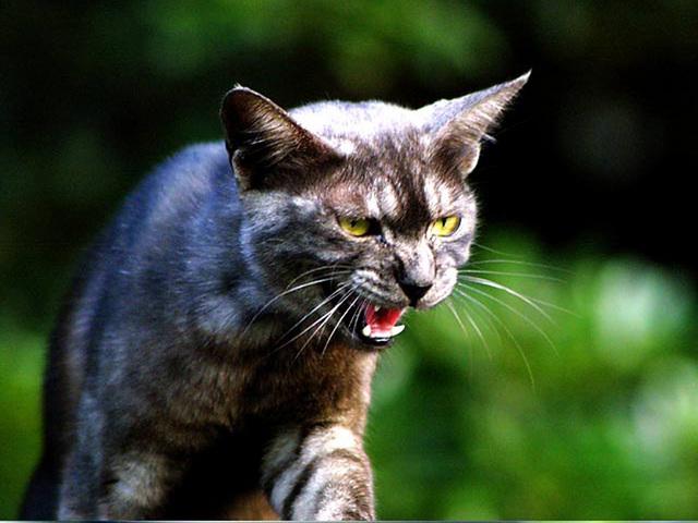 カッコいい猫の画像-138_1