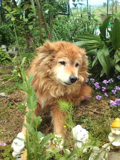 柴犬、秋田犬画像スレ-038