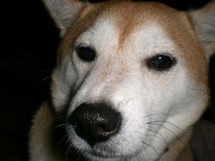柴犬、秋田犬画像スレ-088