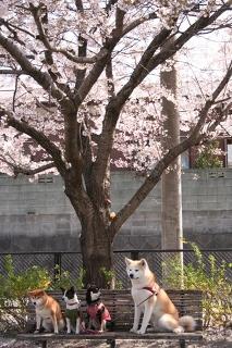 柴犬、秋田犬画像スレ-111_6