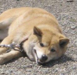 柴犬、秋田犬画像スレ-166