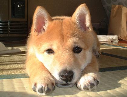 柴犬、秋田犬画像スレ-007