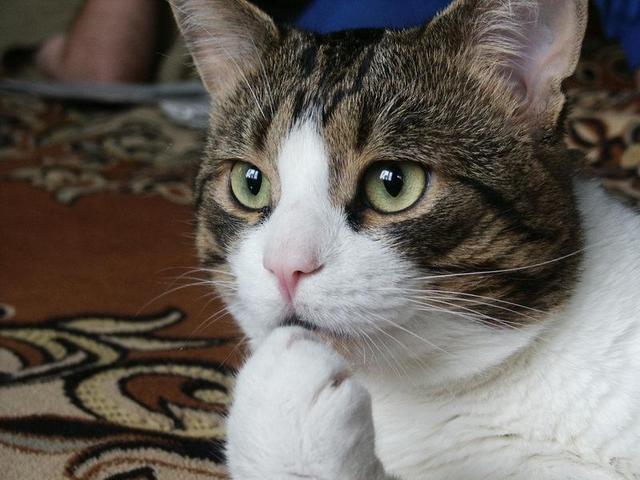 カッコいい猫の画像-057