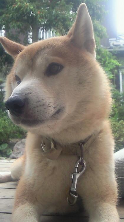 柴犬、秋田犬画像スレ-142_1