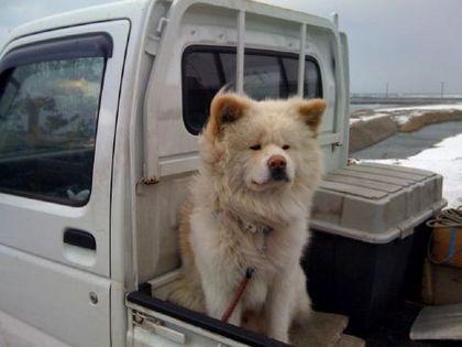 柴犬、秋田犬画像スレ-010
