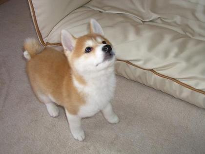 柴犬、秋田犬画像スレ-095_3
