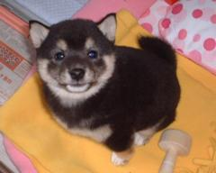 柴犬、秋田犬画像スレ-051