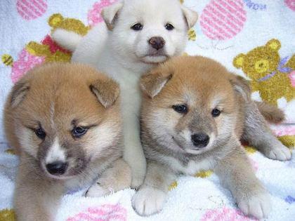 柴犬、秋田犬画像スレ-093_4
