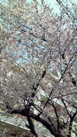 20100312調布市の桜