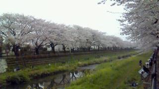 調布野川の桜が満開